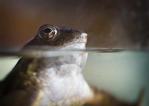 Female Common Frog | by Jlhopgood