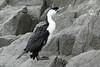 black-faced cormorant by Wildlife photos by Paul Donald