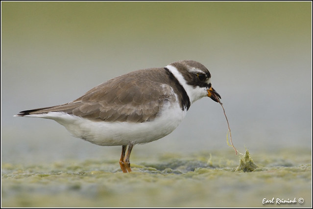 Semipalmated Plover (20120609-0092)