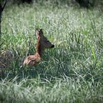 Red Deer Fawn, Mönchbruch @ Mörfelden, Germany