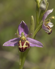 Variant Bee Orchid (Belgarum)