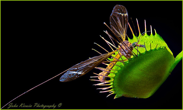 Venus Fly Trap & Insect