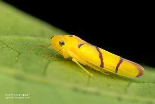 Leafhopper (Sailerana cf. solitaris) - DSC_3351