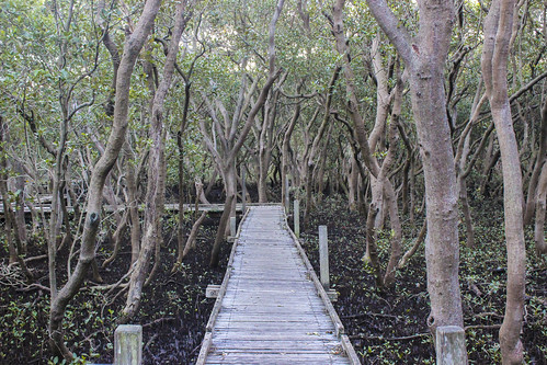 green forest mud sydney australia mangroves