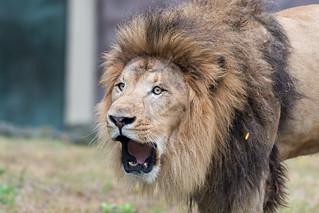 Lion Roaring Closeup | by Eric Kilby