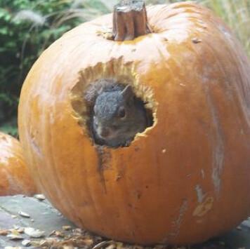 pumpkinsquirrel
