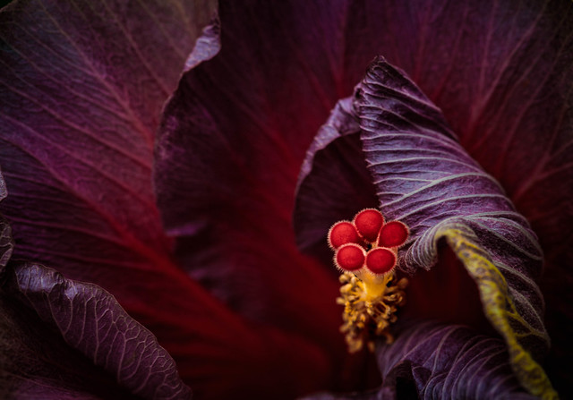 Hibiscus macro EXPLORED