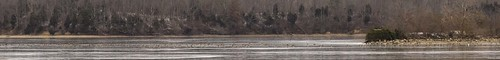 pano1 canadagoose brantacanadensis snowgoose chencaerulescens clarksville ohio cowanlake clintoncounty