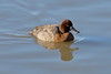 Ring-necked Duck, Female by brian.bemmels