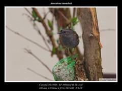Accenteur-mouchet_MG_6007_web.jpg