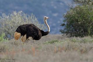 Ostrich | by Kevin B Agar