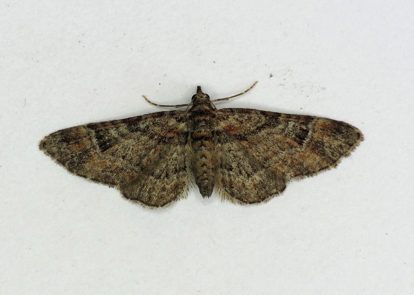 1862 Double-striped Pug - Gymnoscelis rufifasciata