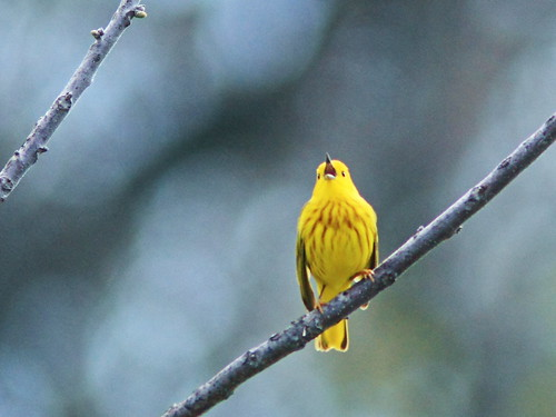 Yellow Warbler 04-20160503