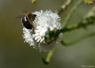 Abeja y flor de acacia - Bee and acacia flower