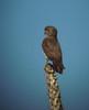 Falco zoniventrisDFL mad07 by barbetboy