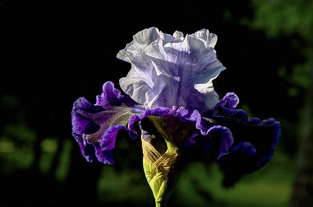 Iris4 - Blue