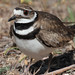 Flickr photo 'Killdeer defending nest --- Charadrius vociferus' by: Aaron Maizlish.