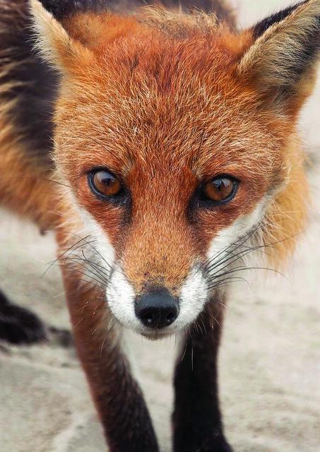 Dollymount Fox