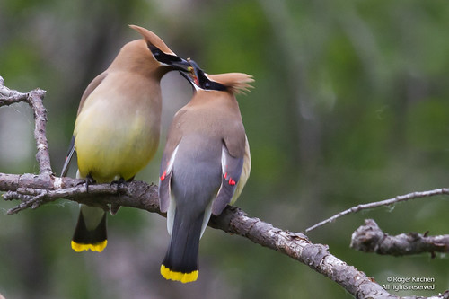Cedar Waxwing - Food Exchange | by Roger-Pierre