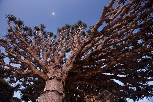 01-socotra-icon-dragons-blood-tree-670 | by Cosse Healuc
