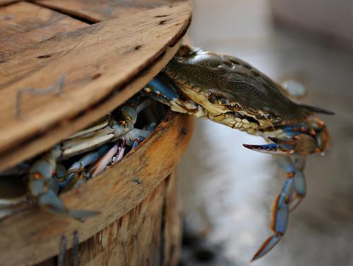 Dillinger the crab   by Benjamin Wilson US