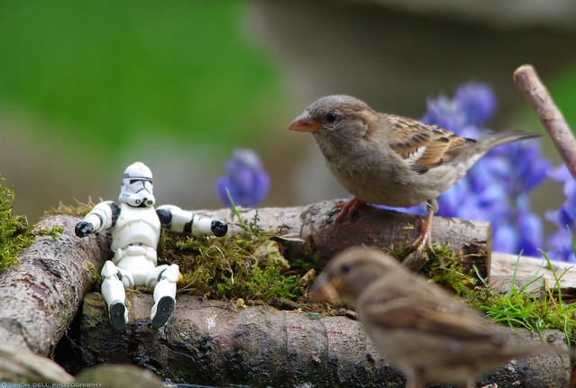 The Force is strong with this one.Sparrow Wars battle for the Garden feeders