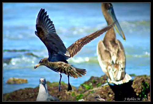 Sea gull   by Jaime Robles M.