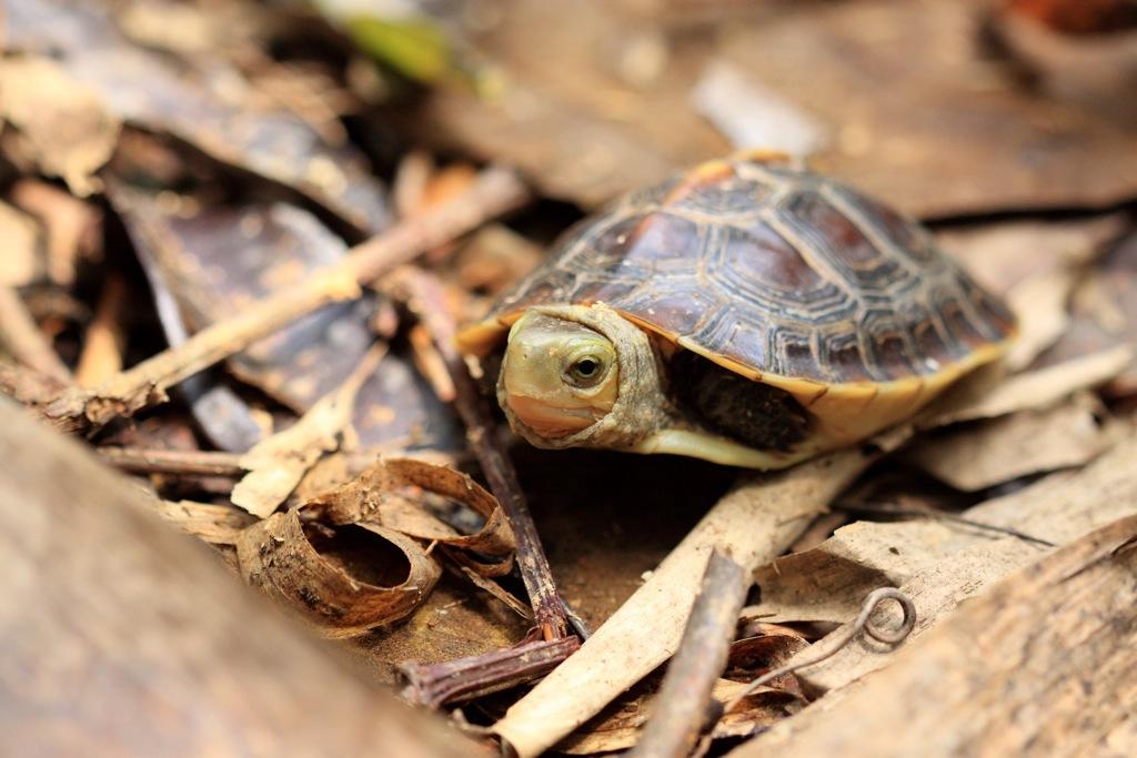 大量捕捉下,連青少年階段(亞成體)的食蛇龜都不放過。攝影:陳帝溶