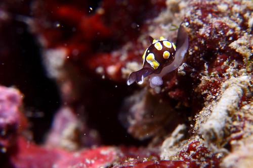 Colpodaspis thompsoni 湯普生透明海蛞蝓