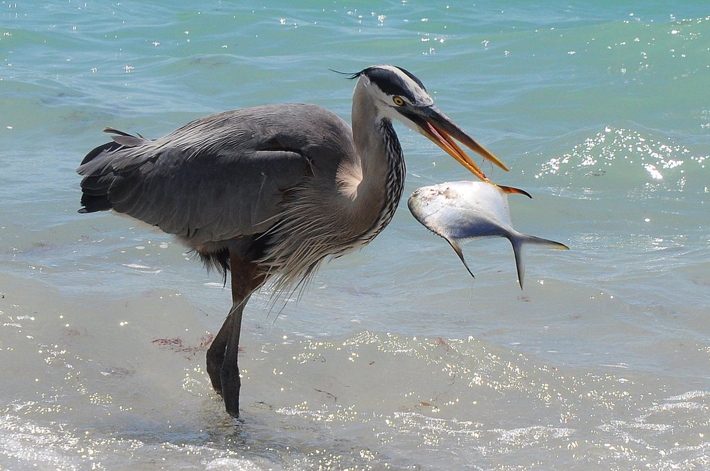 Great blue heron's catch