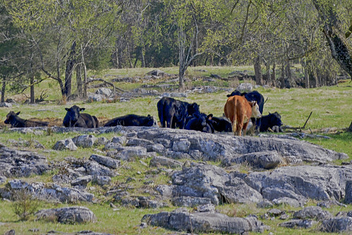field rocks cattle cows tennessee rocky peaceful topp