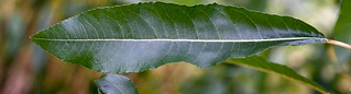 Willow-leaf | by Rothamsted