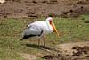 Yellow-billed Stork (Mycteria ibis) by Sergey Pisarevskiy
