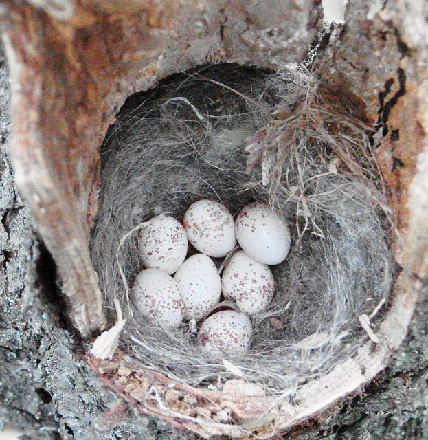 black capped chickadee nest and eggs