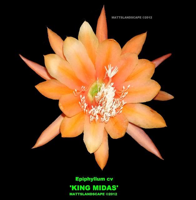 KING MIDAS Epiphyllum cv (Close up-pic 1)