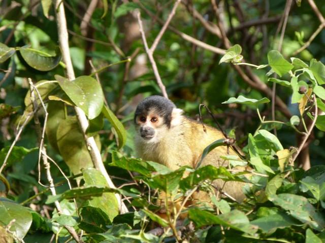 Mono en la selva peruana