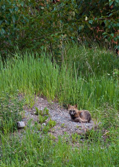 Urban Wild Fox