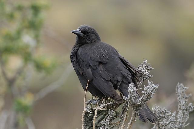 Tordo Común / Austral Blackbird / Curaeus curaeus