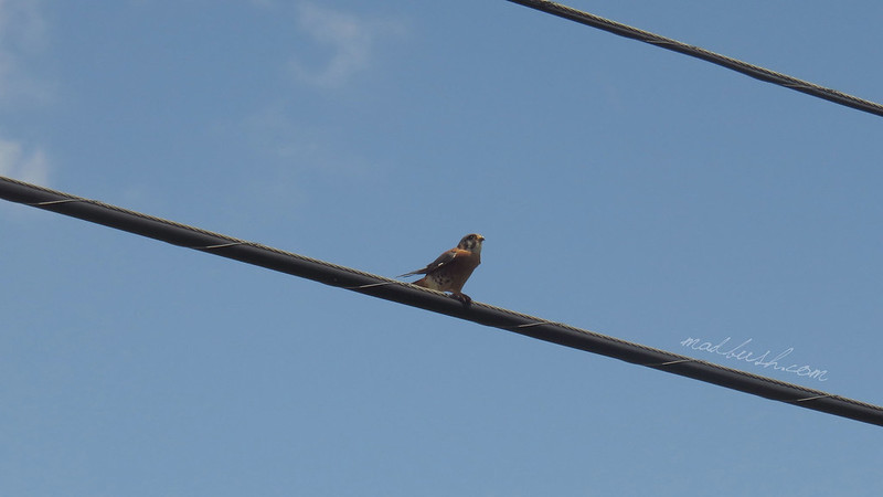 American Kestrel (Falco sparverius) in Vinales