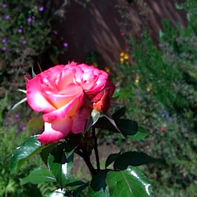 Lytro rose