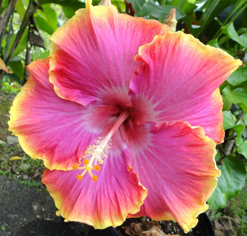 Amapola Hibiscus Jardin Boricua Flickr