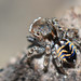 Maratus spicatus - Photo (c) Jean and Fred, algunos derechos reservados (CC BY)