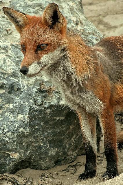 Dollymount Fox 5