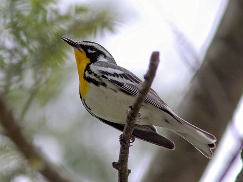 Yellow-throated Warbler HDR 04-20160506