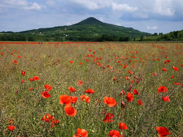 polka dot meadow
