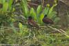Hartlaub's Duck (Pteronetta hartlaubii), east of Douala, CM, 2012-03-20 (4 of 4).jpg by maholyoak