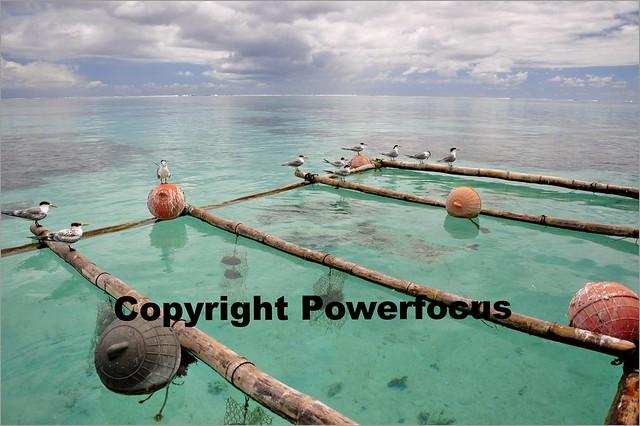 Pacific Pearl farming