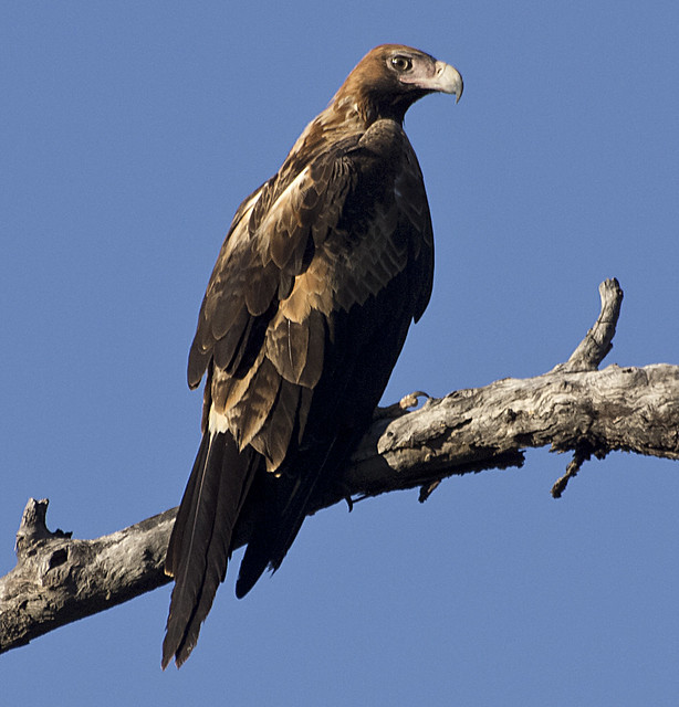 proud to be a wedge-tailed eagle