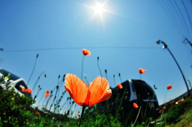 Day 140/366 : Mr. Sun & Little Poppy