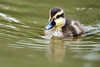 White-cheeked Pintail (Anas bahamensis) duckling by DragonSpeed